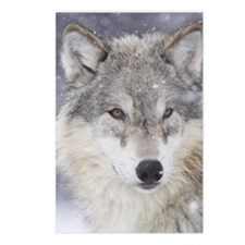 ms  Wolf Postcards (Package of 8)
