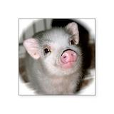 Pig Square