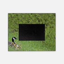Goslings With Mom Picture Frame