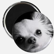 Chihuahua Magnet
