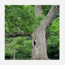 Hollow Oak Tree on Western Campus Tile Coaster