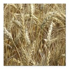 "Wheat ready for Harvest Square Car Magnet 3"" x 3"""