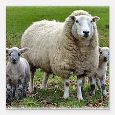 "Sheep 9R12D-35 Square Car Magnet 3"" x 3"""