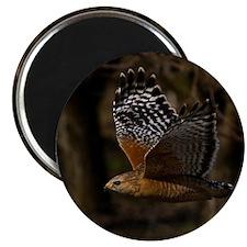(14) Red Shouldered Hawk Flying Magnet