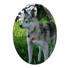 Alaskan Klee Kai looking into the di Oval Ornament