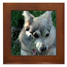 Alaskan Klee Kai hiding in grass Framed Tile