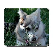 Alaskan Klee Kai hiding in grass Mousepad