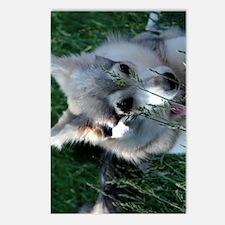 Alaskan Klee Kai hiding i Postcards (Package of 8)