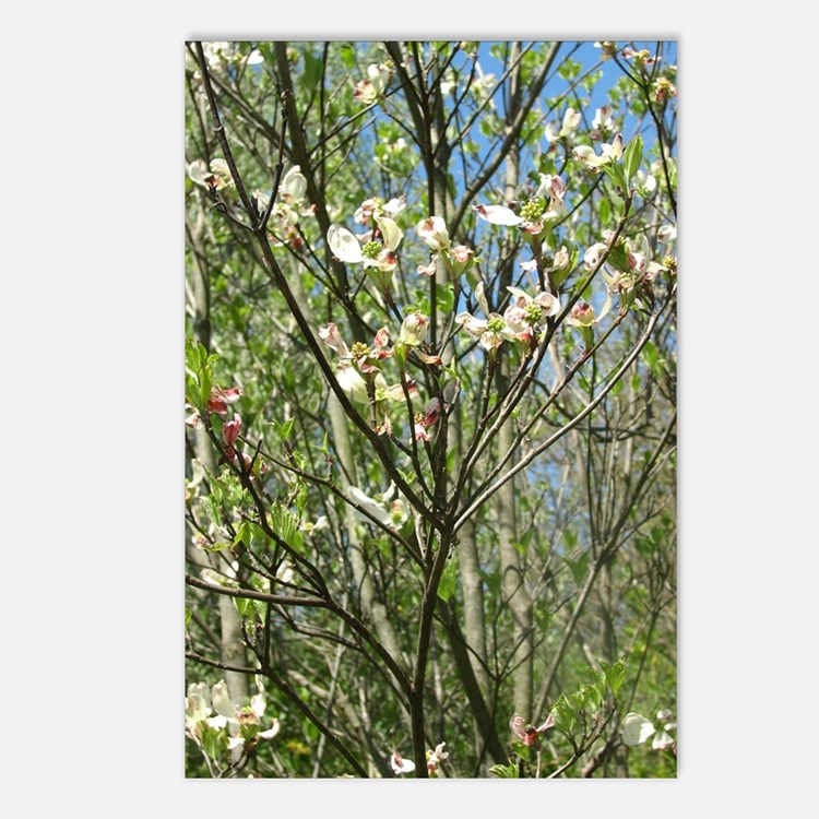 dogwood blossoms Postcards (Package of 8)