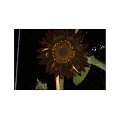 Dark Sunflower Rectangle Magnet (10 pack)
