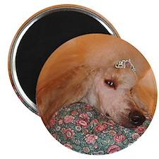 Cool Apricot standard poodle Magnet