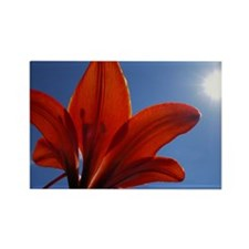 Sunlit Tiger Lily Rectangle Magnet