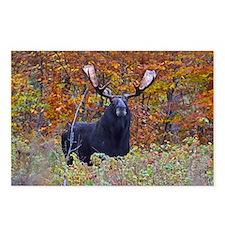Big Bull Moose Postcards (Package Of 8)