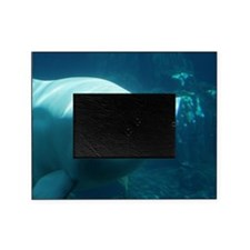 Close up of a Beluga Whale 3 Picture Frame