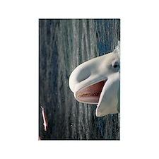 Beluga Whales 5 Rectangle Magnet