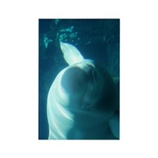 Close up of a Beluga Whale 3 Rectangle Magnet