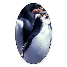 Royal Penguins (Eudyptes schlegeli) Decal
