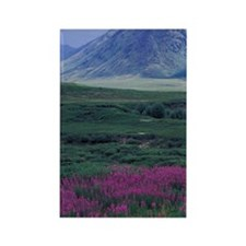 Yukon. Fireweed blooms at Black F Rectangle Magnet