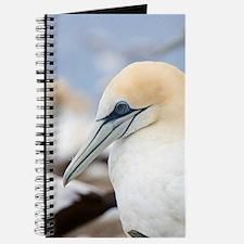 Cape Kidnappers. Australasian Gannet chick Journal