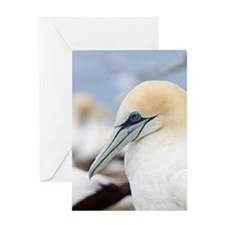 Cape Kidnappers. Australasian Gannet Greeting Card