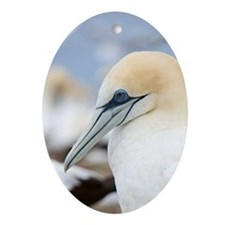 Cape Kidnappers. Australasian Gannet Oval Ornament