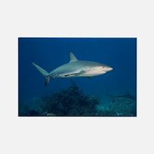 Caribbean Reef Sharks (Carcharhin Rectangle Magnet