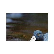 Karamea. Blue Duck (Hymenolanimus Rectangle Magnet