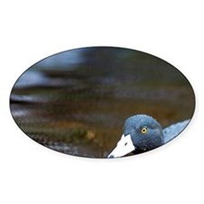 Karamea. Blue Duck (Hymenolanimus m Decal