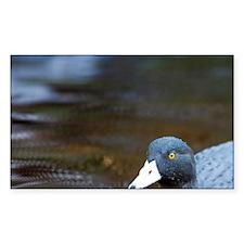 Karamea. Blue Duck (Hymenolani Decal