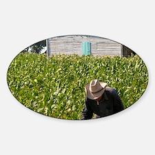 Tobacco farmer picking tobacco in f Sticker (Oval)