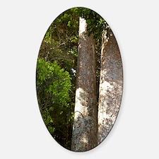 Kauri Tree near Whitianga, Coromand Sticker (Oval)