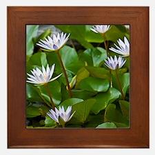 Pygmy Water Lily ( Nymphaea X Daubenia Framed Tile