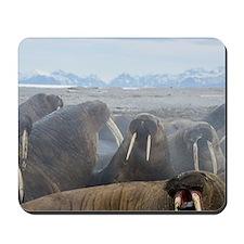 Walrus group (Odobenus rosmarus) on shor Mousepad