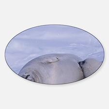 Harp seal (Phoca groenlandica) and  Decal