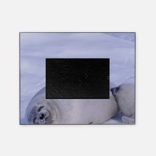 Harp seal (Phoca groenlandica) and p Picture Frame