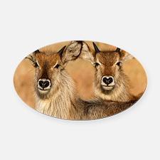 Devilsih Waterbucks Oval Car Magnet