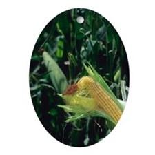 An ear of corn on the on the stalk. Oval Ornament