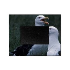 Great Black-backed seagulls Scotia,  Picture Frame