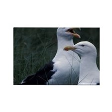 Great Black-backed seagulls Scoti Rectangle Magnet