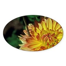 Campobello Island. A dahlia blooms  Decal