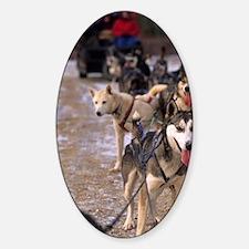 Dog sledding team near Churchill No Sticker (Oval)