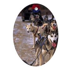 Dog sledding team near Churchill Nor Oval Ornament