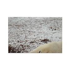 Polar Bear (Ursus maritimus) slee Rectangle Magnet