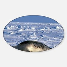 Gulf of St. Lawrence. Harp Seals (p Decal