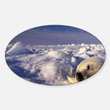 Gulf of St. Lawrence. Harp Seal (ph Decal
