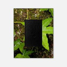 with English ivy Picture Frame