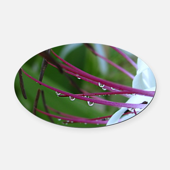 Spider lily Oval Car Magnet