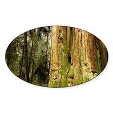 British Columbia, Thuja plicata, St Decal