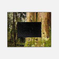 British Columbia, Thuja plicata, Sta Picture Frame