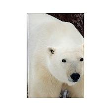 Polar Bear (Ursus maritimus) in C Rectangle Magnet
